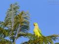 Halsbandsittich / Rose-ringed Parakeet, Ring-necked Parakeet / Psittacula krameri