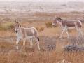 Asiatischer Esel / Asian Wild Ass / Equus hemionus