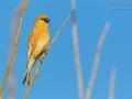 Weißflügelgimpel / Desert Finch / Rhodospiza obsoleta