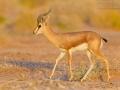 Dorkasgazelle / Dorcas Gazelle / Gazella dorcas