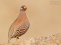 Arabisches Wüstenhuhn / Sand Partridge / Ammoperdix heyi