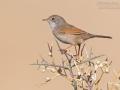 Brillengrasmücke / Spectacled Warbler / Sylvia conspicillata