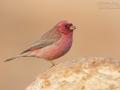 Einödgimpel / Sinai Rosefinch / Carpodacus synoicus