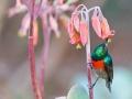 Doppelband-Nektarvogel / Greater Double-collared Sunbird / Cinnyris afer