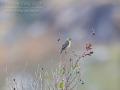 Hahnschweifweber / Long-tailed Widowbird / Euplectes progne