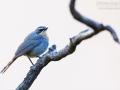 Kaprötel / Cape Robin-Chat / Cossypha caffra