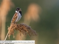 Rohrammer, Reed Bunting, Emberiza schoeniclus, Bruant des roseaux, Escribano Palustre