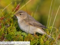 Fitis, Willow Warbler, Phylloscopus trochilus, Pouillot fitis, Mosquitero Musical