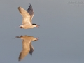 Flussseeschwalbe_1DX2_025798