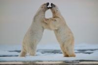 Vortrag Mangersnes: Eisbär