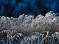 Vortrag Bosboom: Frostiges Schilf