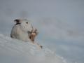 Vortrag Hamblin: Schneehase