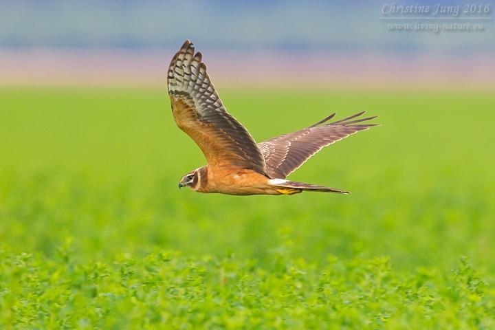Steppenweihe / Pallid Harrier / Circus macrourus