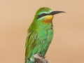 Blauwangenspint / Blue-cheeked Bee-eater / Merops persicus