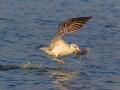 Fischmöwe / Pallas's Gull / Ichthyaetus ichthyaetus