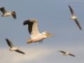 Rosapelikan / Great White Pelican / Pelecanus onocrotalus