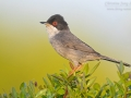 Samtkopf-Grasmücke / Sardinian Warbler / Sylvia melanocephala