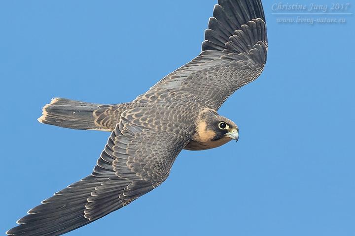 Schieferfalke / Sooty Falcon / Falco concolor