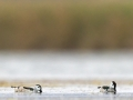 Coromandelzwergente / Cotton Pygmy Goose / Nettapus coromandelianus