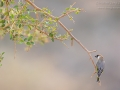 Sokotragimpel / Socotra Golden-winged Grosbeak / Rhynchostruthus socotranus