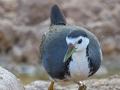 Weißbrust-Kielralle / White-breasted Waterhen / Amaurornis phoenicurus