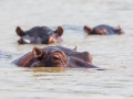 Flusspferd / Common Hippopotamus / Hippopotamus amphibius