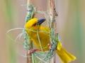 Goldweber / Eastern Golden Weaver / Ploceus subaureus