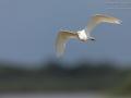 Kuhreiher / Western Cattle Egret / Bubulcus ibis