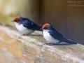 Rotkappenschwalbe / Wire-tailed Swallow / Hirundo smithii