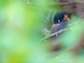 Weißrückenreiher / White-backed Night Heron / Gorsachius leuconotus