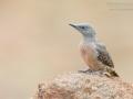 Erdspecht / Ground Woodpecker / Geocolaptes olivaceus