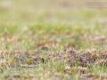 Finkenlerche / Botha's Lark / Spizocorys fringillaris