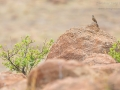 Kapammer / Cape Bunting / Emberiza capensis