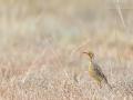 Kappieper / Cape Longclaw / Macronyx capensis