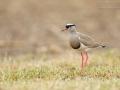 Kronenkiebitz / Crowned Lapwing / Vanellus coronatus