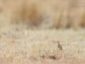 Transvaalspornlerche / Rudd's Lark / Heteromirafra ruddi