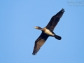 Kormoran, Great Cormorant, Cormorant, Phalacrocorax carbo, Grand Cormoran, Cormorán Grande