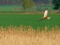 Rohrweihe, Western Marsh Harrier, Marsh Harrier, Eurasian Marsh Harrier, Western Marsh-Harrier, Circus aeruginosus, Busard des roseaux, Aguilucho Lagunero Occidental