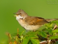 Dorngrasmücke, Common Whitethroat, Whitethroat, Sylvia communis, Fauvette grisette, Curruca Zarcera