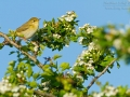 Feldsperling, Eurasian Tree Sparrow, Tree Sparrow, Passer montanus, Moineau friquet, Gorrión Molinero