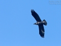 Kolkrabe, Common Raven, Raven, Corvus corax,  Grand Corbeau, Cuervo Común, Cuervo