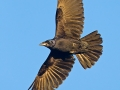 Saatkrähe, Rook, Corvus frugilegus, Corbeau freux, Graja