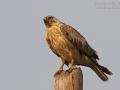 Adlerbussard, Long-legged Buzzard, Buteo rufinus, Buse féroce, Busardo Moro