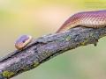 Äskulapnatter / Aesculapian Snake / Zamenis longissimus