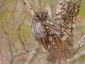 Afrika-Zwergohreule, Afrika Zwergohreule. African Scops Owl, Otus senegalensis