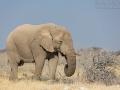 afrikanischer_elefant_5dmk3_07497