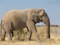 afrikanischer_elefant_5dmk3_07503