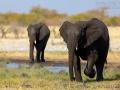 afrikanischer_elefant_5dmk3_07567