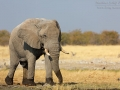 afrikanischer_elefant_5dmk3_07615