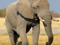 afrikanischer_elefant_5dmk3_07633